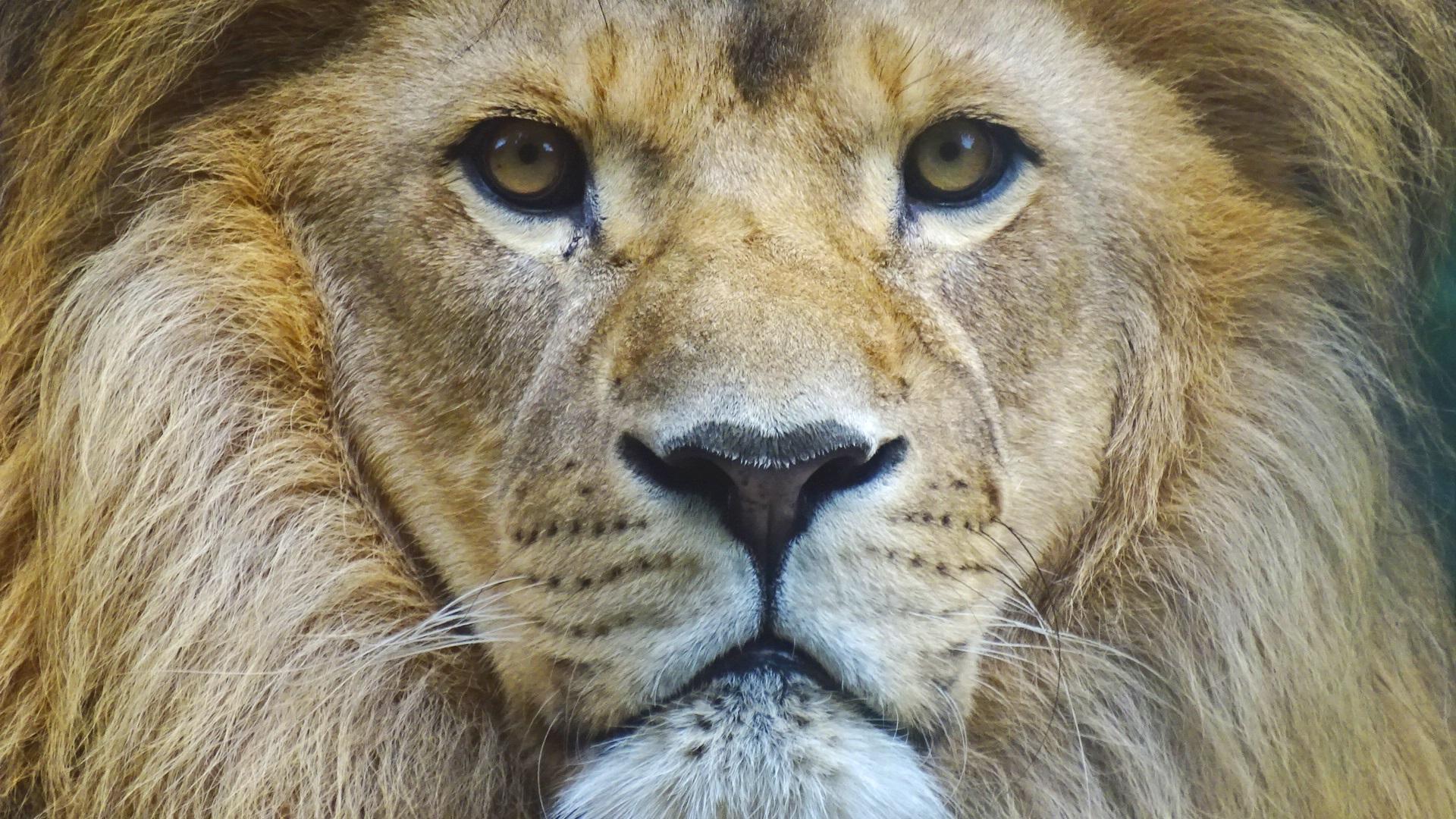 Auch Löwen freuen sich über Besuch im Tierpark Straubing
