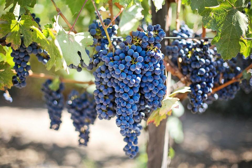 Wein aus dem kleinsten Weinbaugebiet Deutschlands bei Regensburg hat römische Wurzeln