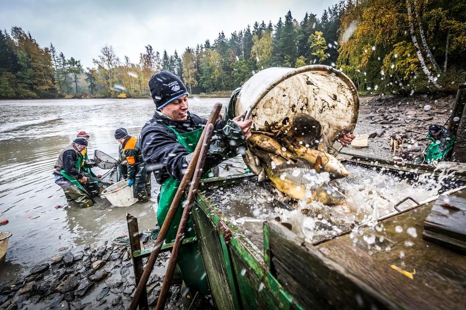 Abfischen der Karpfen im Land der 1000 Teiche